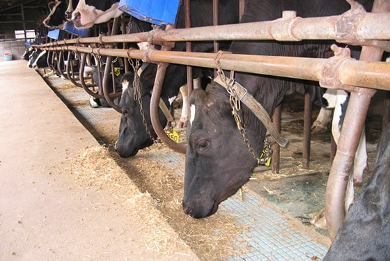 Cows eating the animal feed (soy sauce cake)