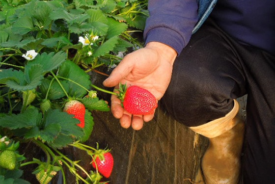 Strawberries cultivated using the fertilizer